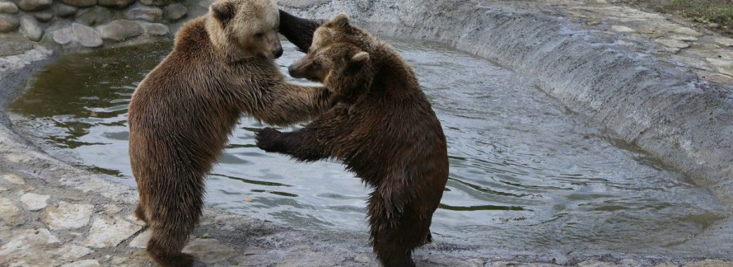 На сніданок – до ведмедів