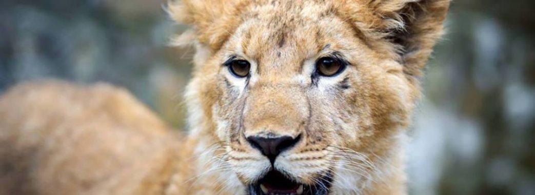 Самбірські леви чекають на квиток до Африки