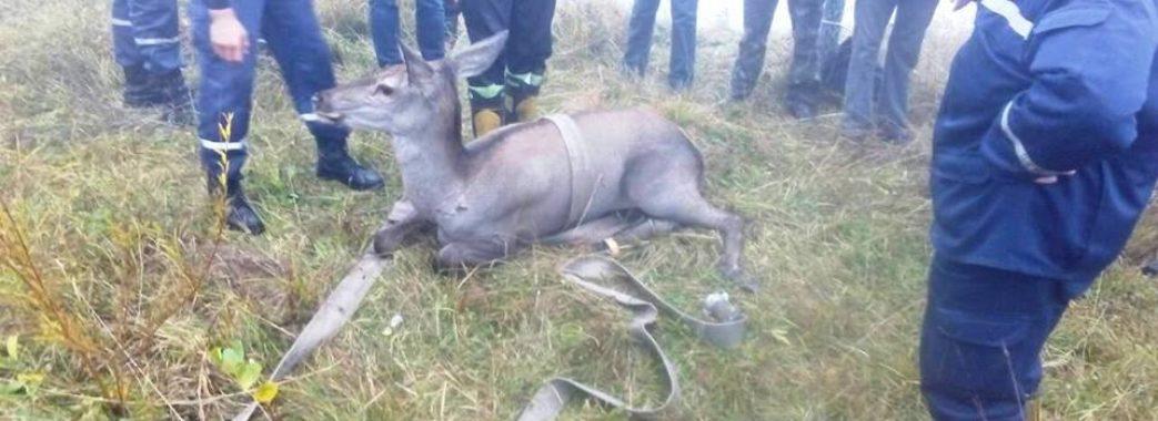 Як надзвичайники оленицю рятували