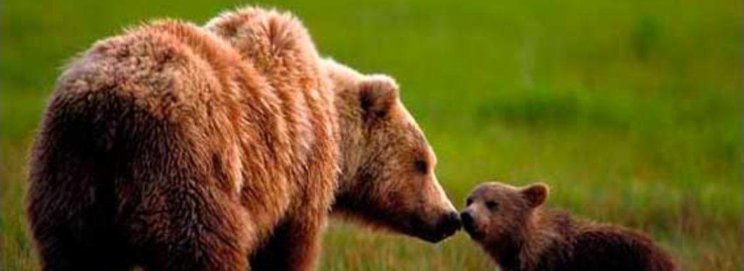 Ведмеді закликають Парубія діяти