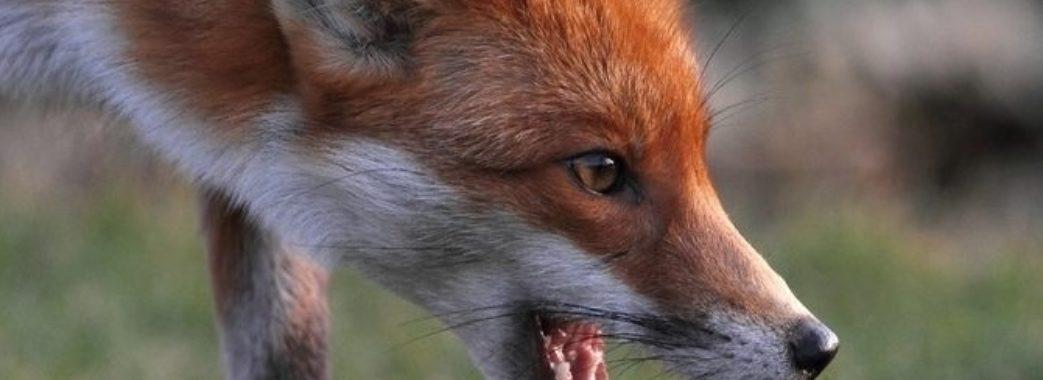 Цього місяця на Львівщині зафіксували чотири випадки сказу серед тварин
