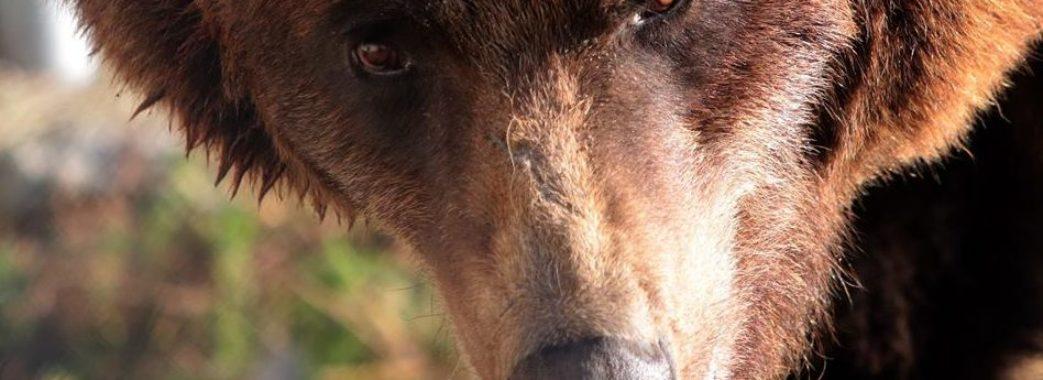 Ведмеді із Домажиру змінюють графік