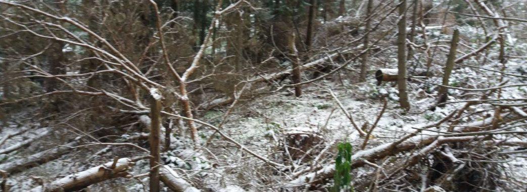 На Старосамбірщині знову виявили масові незаконні рубки лісів
