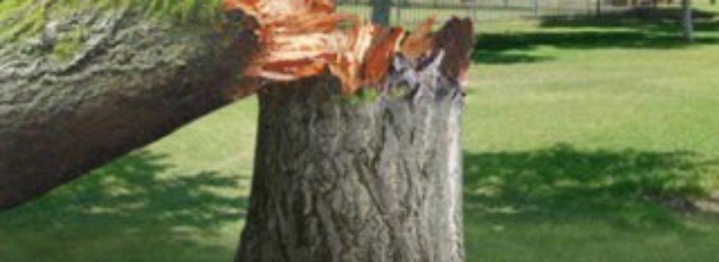На Золочівщині дерево впало на чоловіка