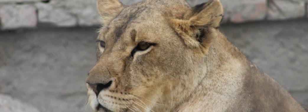 Самбірські леви повертаються в Африку