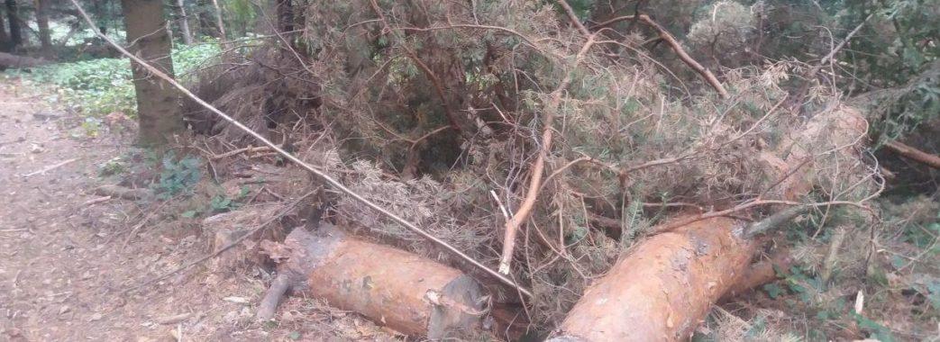 Старосамбірські депутати виявили масові незаконні рубки лісу (відео)