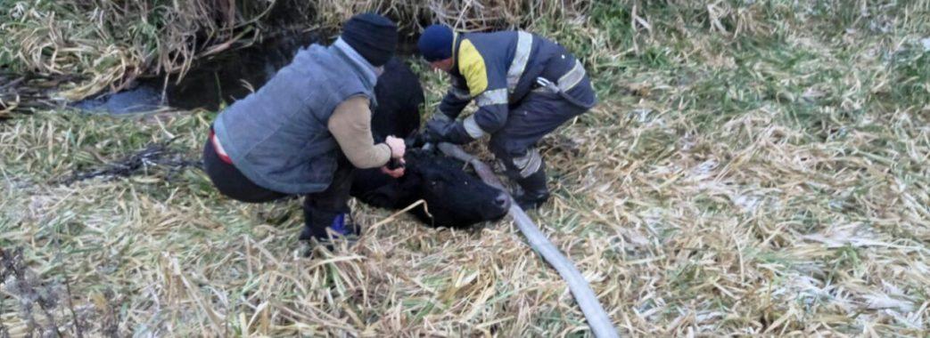 На Бродівщині рятувальники 15 хвилин витягували з болота корову