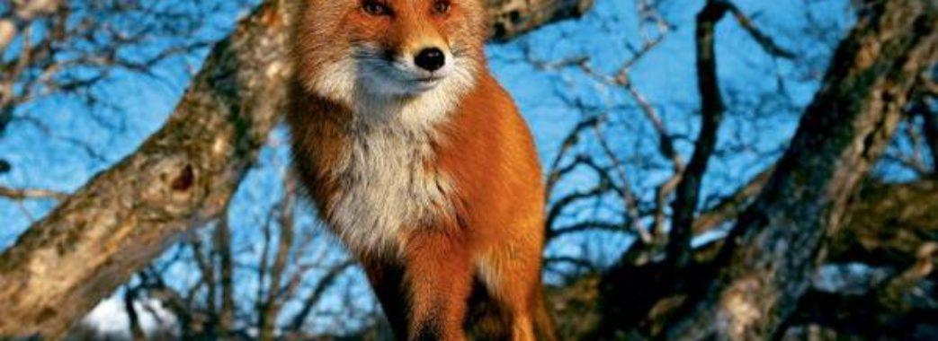 На Стрийщині п'ять сіл потерпають від сказу лисиці