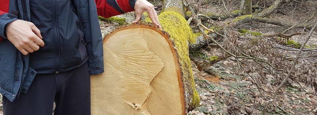 20 дубів незаконно зрубали на території дрогобицького «Галсільлісу»