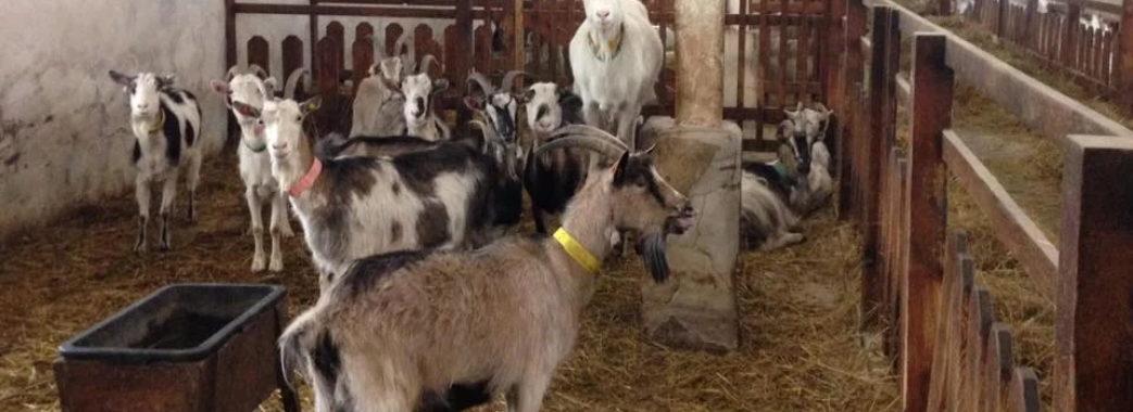 Бельгієць Бернар Вілем продає козячу ферму на Мостищині