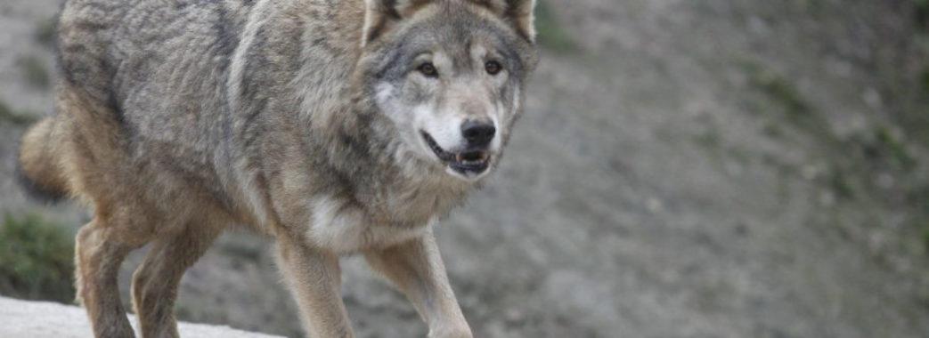 На Жовківщині на тракториста напав вовк