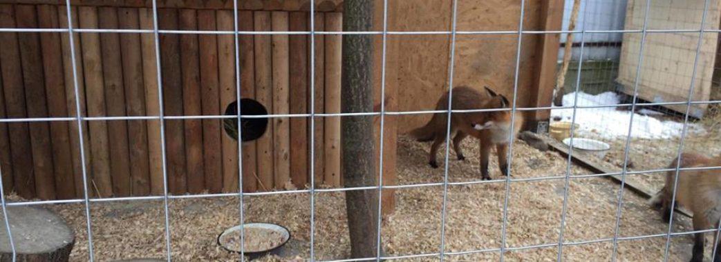 «Продам на притравку єнотовидну собаку»: львівські зоозахисники врятували тварин від браконьєрів