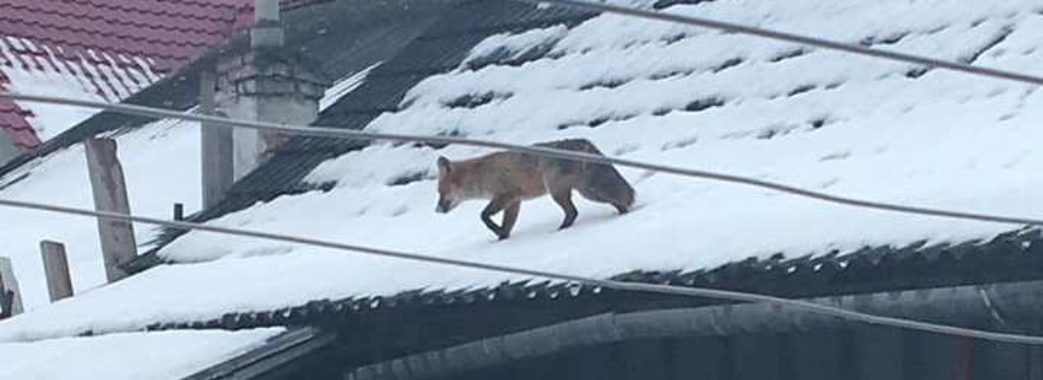 У Жидачеві рятувальники ловили заблукалу лисицю