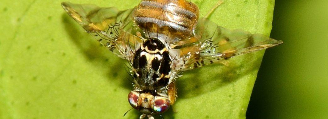 На Жовківщині в мандаринах знайшли карантинну муху