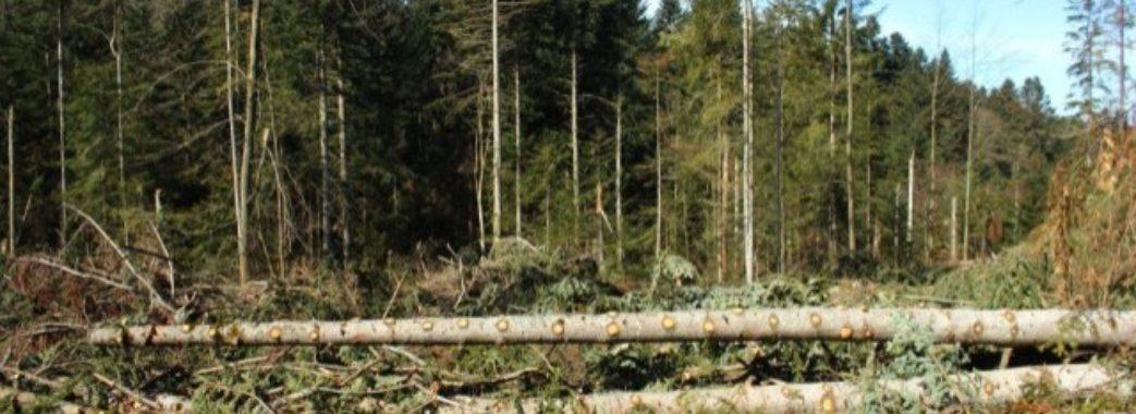 У Буському лісництві незаконно зрубали дуби