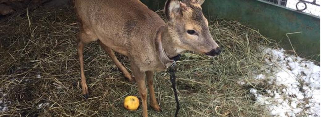 Активісти врятували оленя на Старосамбірщині
