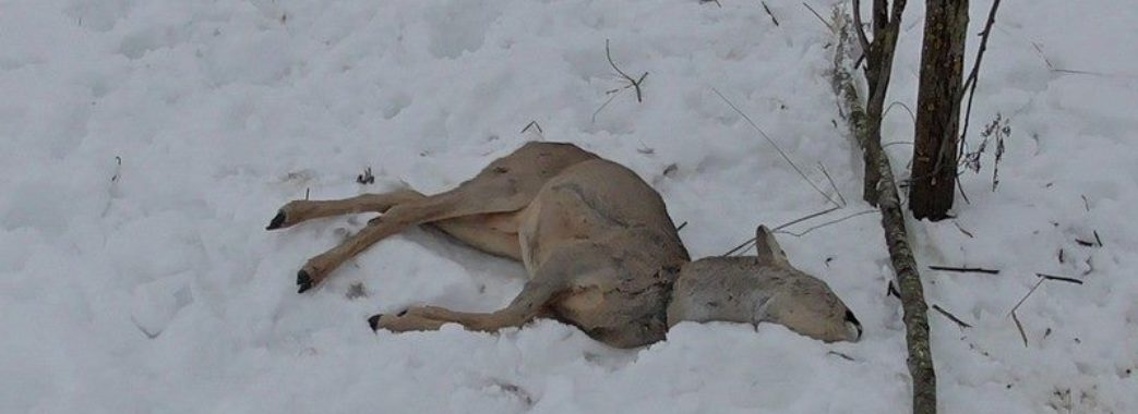"""""""Знайшли два мертвих лиса на сильцях"""": сьогодні львів'яни шукали в лісі пастки"""