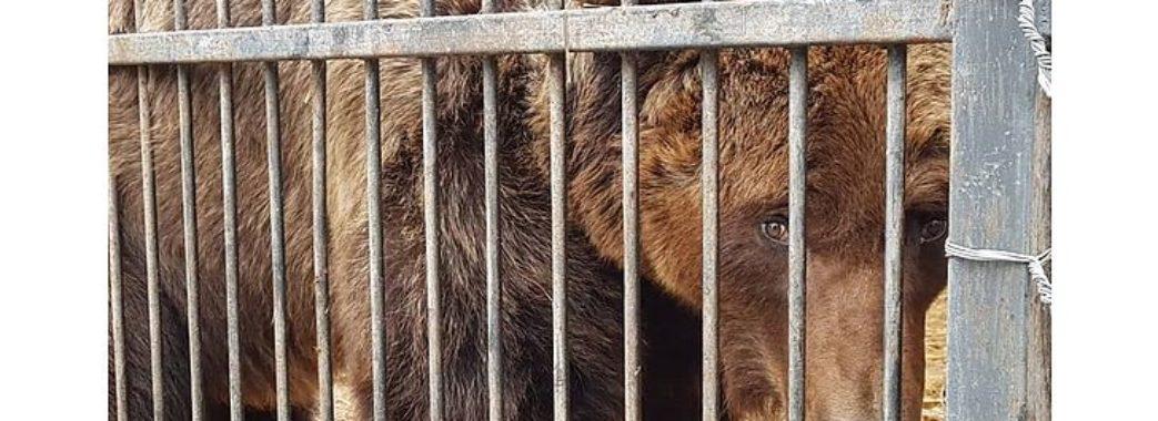 Ведмедицю Ласку, на яку цькували собак, забрали на Яворівщину