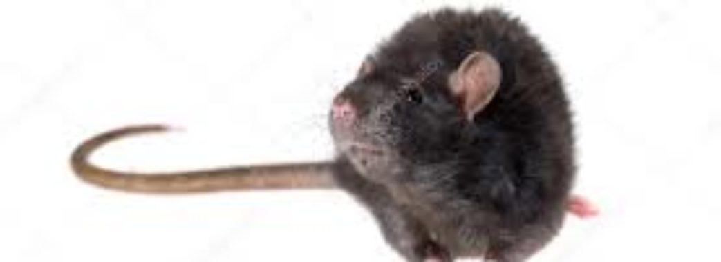 У бутіку з одягом у центрі Львова покупців налякав щур