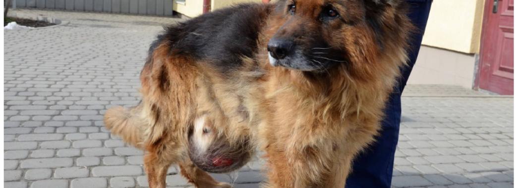 Львівські ветеринари врятували безпритульного собаку із 6-кілограмовою пухлиною