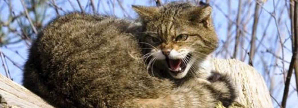 На Старосамбірщині скажений кіт покусав господиню