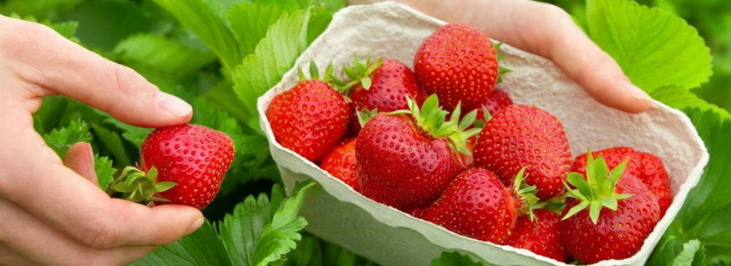 На Жовківщині шукають збирачів полуниці