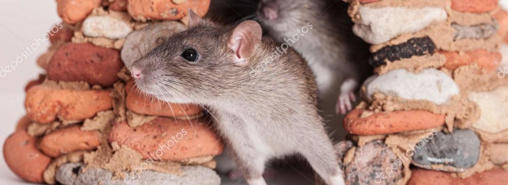 «Будинок перетворили у дешеву їдальню»: львів'яни скаржаться на щурів у домі