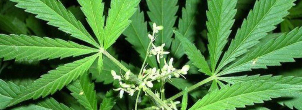 На Самбірщині чоловік вирощував коноплі. Його судитимуть