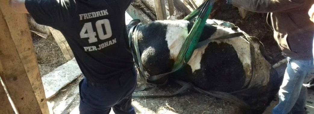 На Дрогобиччині рятувальники трактором витягали з ями корову