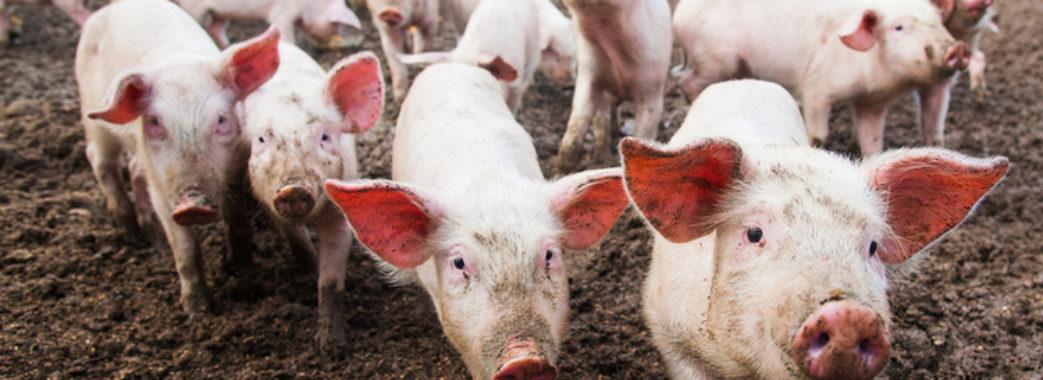У селі на Пустомитівщині фермер викинув дохлих свиней