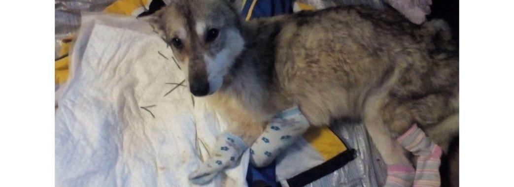 Відрубали чотири лапи: у Золочеві нелюди познущались над собакою