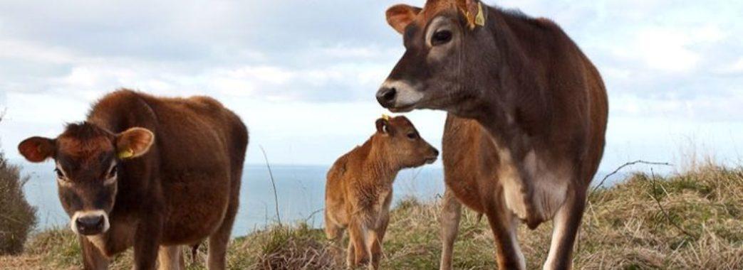 Житель Старосамбірщини розводитиме елітних корів