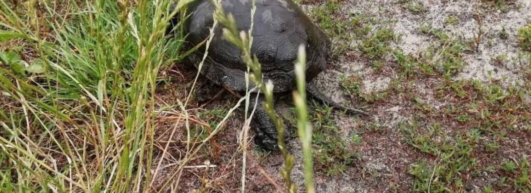 На Жовківщині лісники знайшли черепаху, яку там не бачили вже багато років