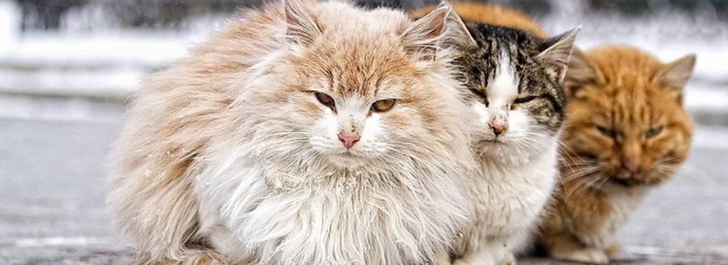 Львів першим у світі порахує вуличних котів