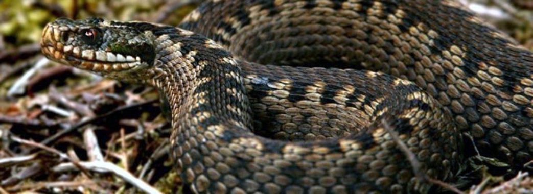 Жінку зі Сколівщини від смертельної зміїної отрути врятувала рукавиця