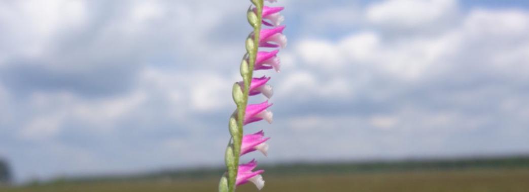 У Бродах зацвіла унікальна квітка – дика орхідея