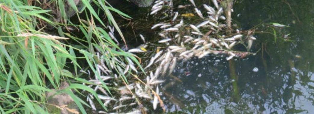 У річці на Старосамбірщині вже тиждень спливає дохла риба
