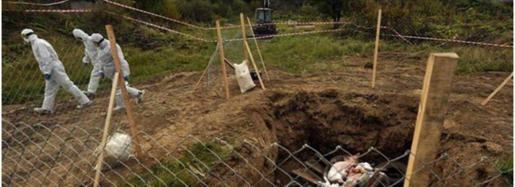 На Стрийщині вже утилізували 27 тисяч свиней