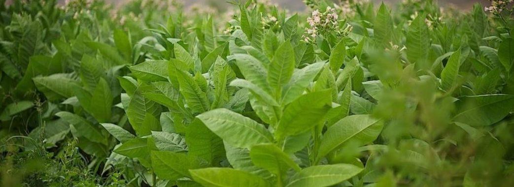 Фермер з Львівщини на вирощуванні тютюну заробляє 100 000 грн