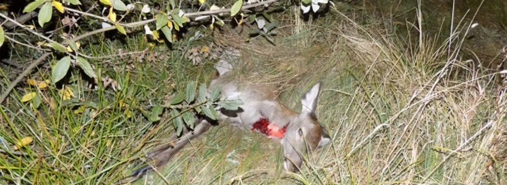 На Бродівщині браконьєр затрелив благородну оленицю