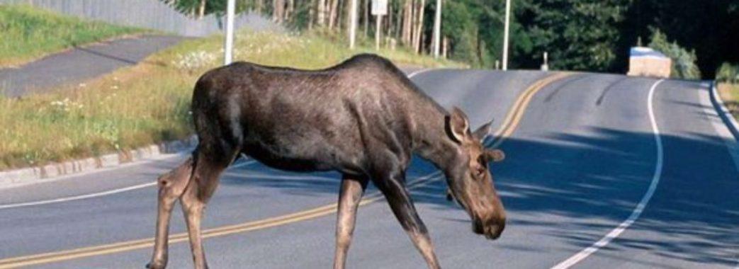 Вулицями Сокаля бігав переляканий лось (ВІДЕО)