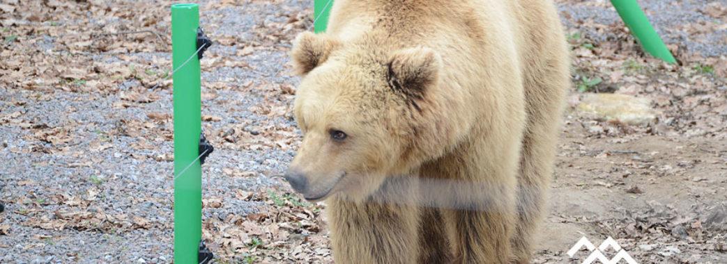 Через теплу осінь ведмеді не можуть заснути
