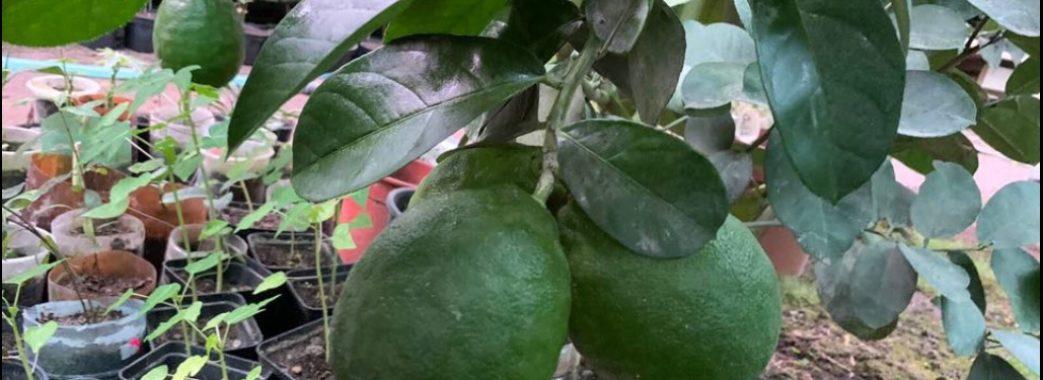 На фермі під Львовом почали вирощувати банани