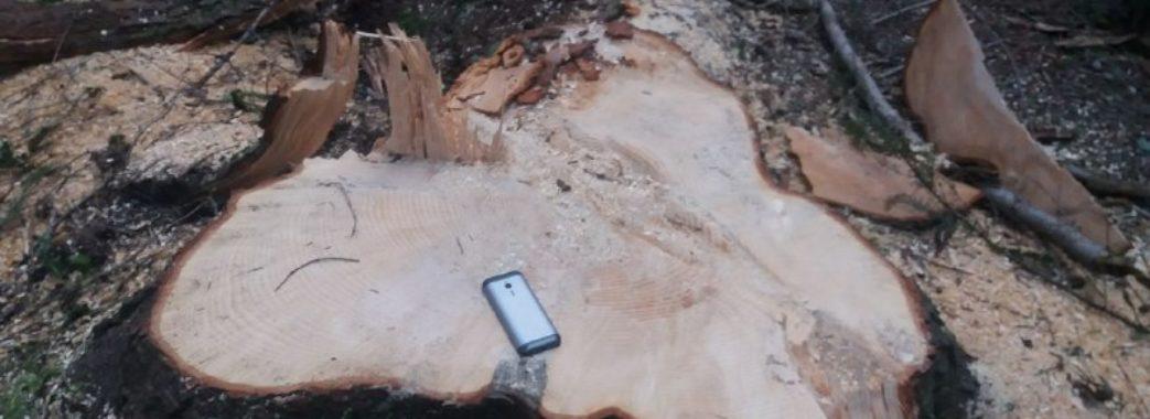На території майбутнього національного парку на Старосамбірщині масова незаконна вирубка дерев