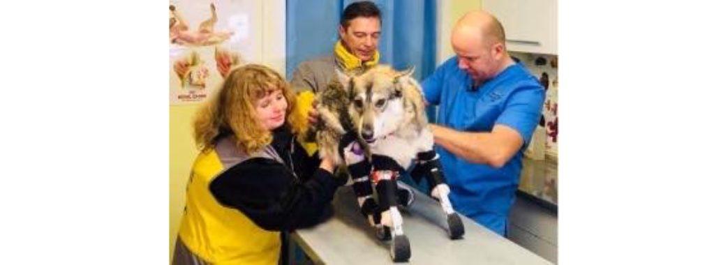 Собаці, якому нелюд відрубав чотири лапи, поставили протези