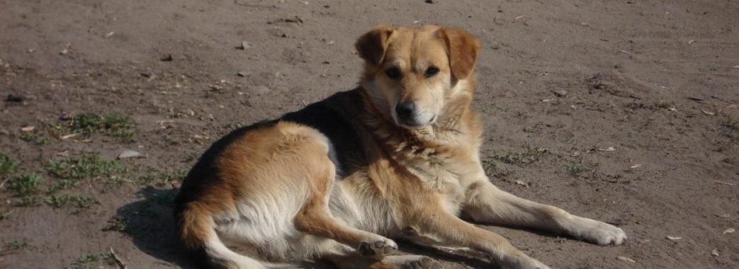У Львові припиняють виловлювати безпритульних собак
