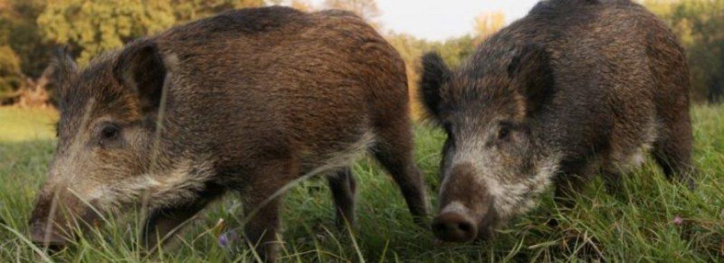 Будьте обережні: у львівському парку «Знесіння» поселилися дикі кабани