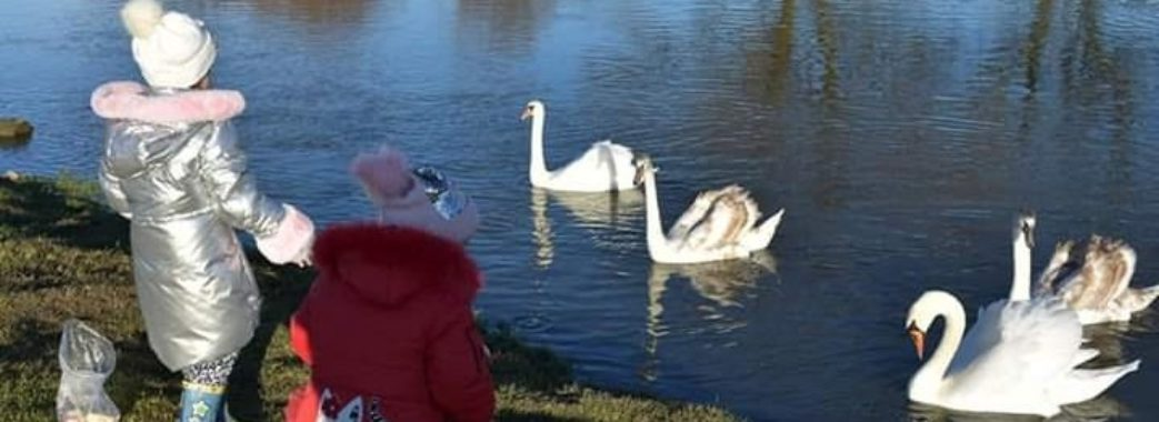 «Потрапили у сіті браконьєрів»: зникли лебеді, що зимували на Миколаївщині