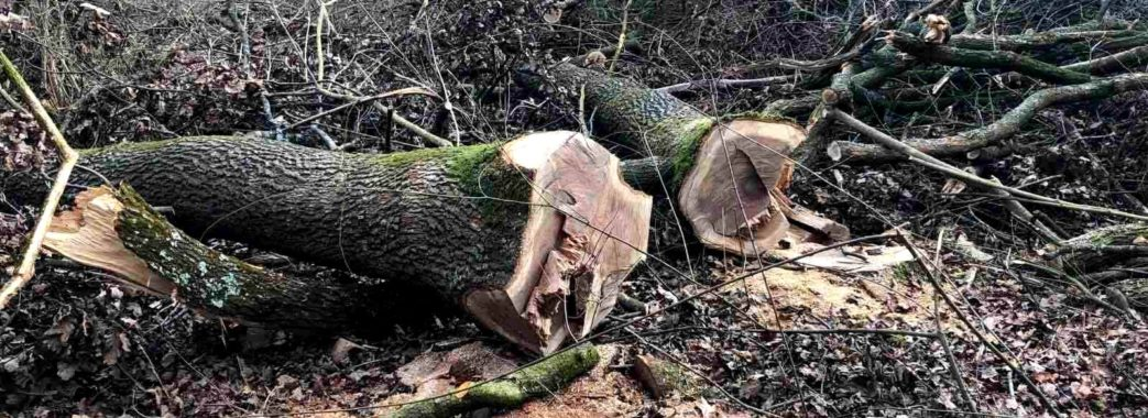 На Стрийщині незаконно вирубали більше сотні 100-літніх дубів