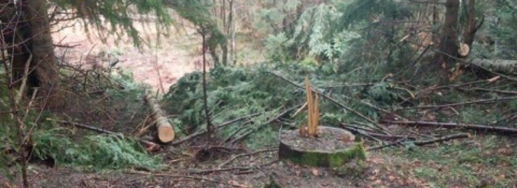 На Старосамбірщині лісник краде дерева (відео)